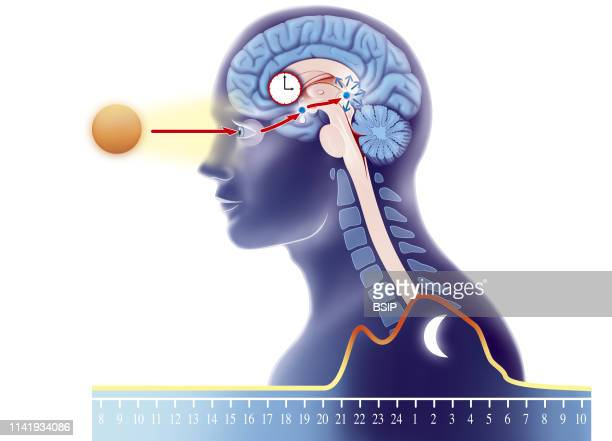 Illustration of the biological clock Depending on sunlight perceived by the eye signals are sent to the suprachiasmatic nucleus home of the circadian...