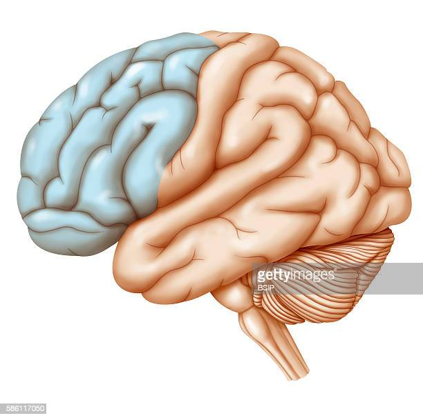 Frontal Lobe Stock Photos And Pictures
