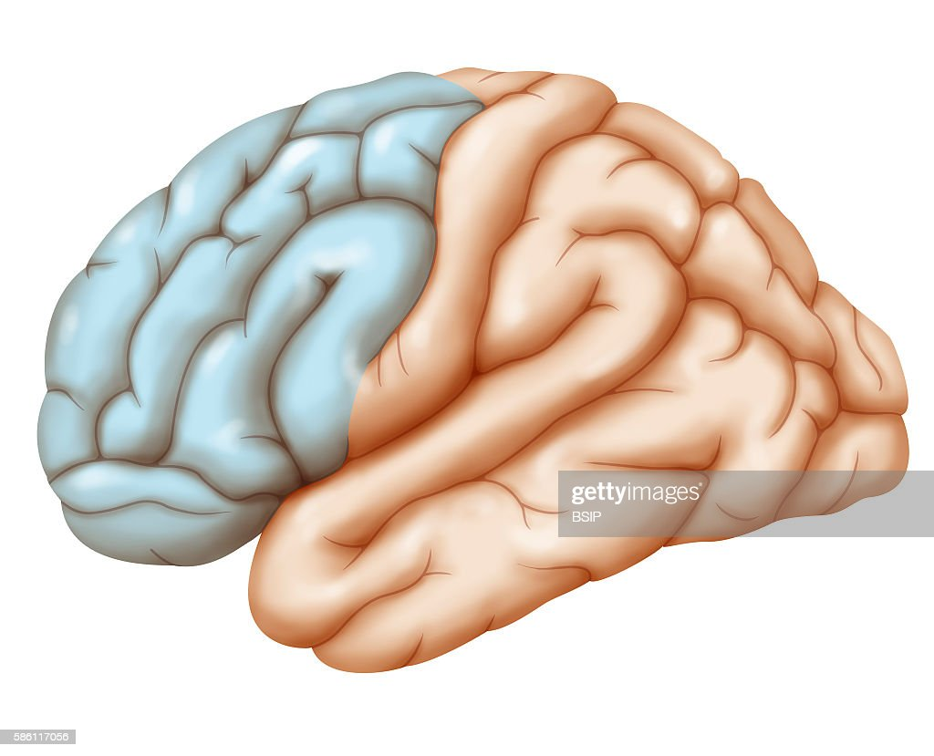 Brain, drawing : News Photo