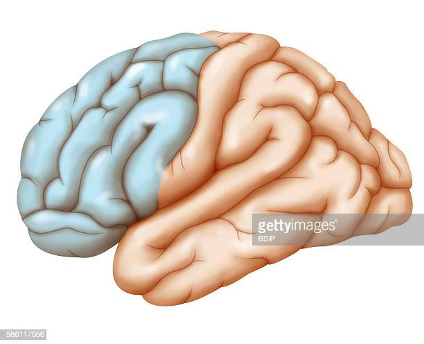 Illustration of the brain's frontal lobe seen in a profile view from the left hemisphere side