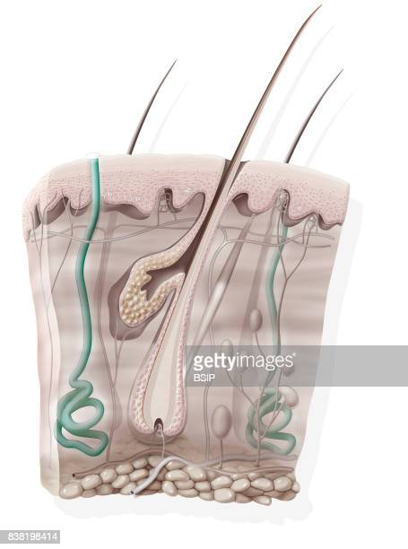 Illustration of the eccrine sweat glands located in the skin and secreting the sweat that regulates the body's temperature thermoregulation The inner...