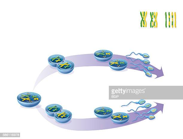 Illustration of the formation of sperm and their genetic diversity due to interchromosomal genetic mixing during meiosis At the top the process of...