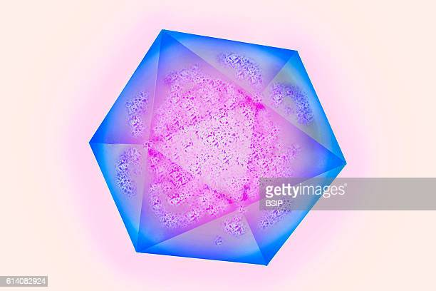 Illustration of the Hepatitis A virus HAV is a nonenvelopped RNA picornavirus and surrounded by a protein capsid