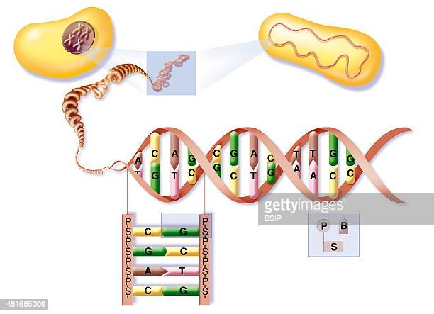 Illustration of the location and structure of DNA in euryotes and procaryotes DNA from both cells unwinds to the DNA double helix highlighting...
