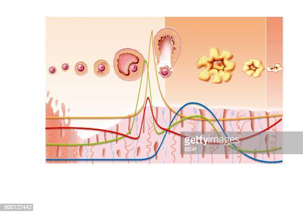 Illustration of the menstrual cycle over 28 days without fertilization after ovulation From top to bottom Illustration of the ovarian cycle Graph of...