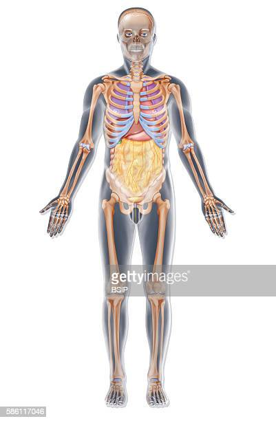 Illustration of the skeleton and various organs in the torso in a man This illustration can be used to place acupuncture points