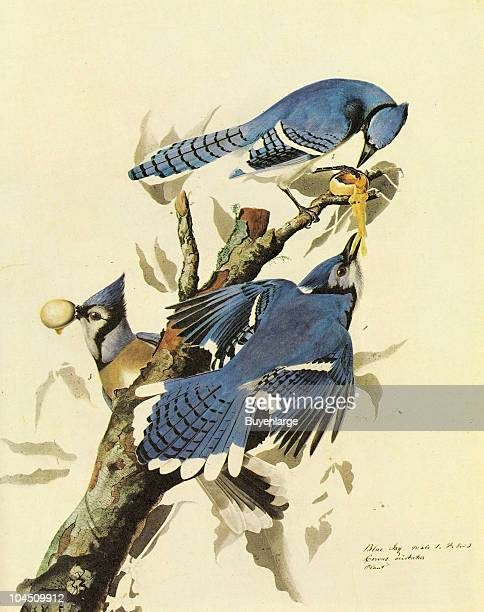 Illustration of three Blue Jays perched on a branch 19th century The image was originally painted by the illustrator John James Audubon and first...