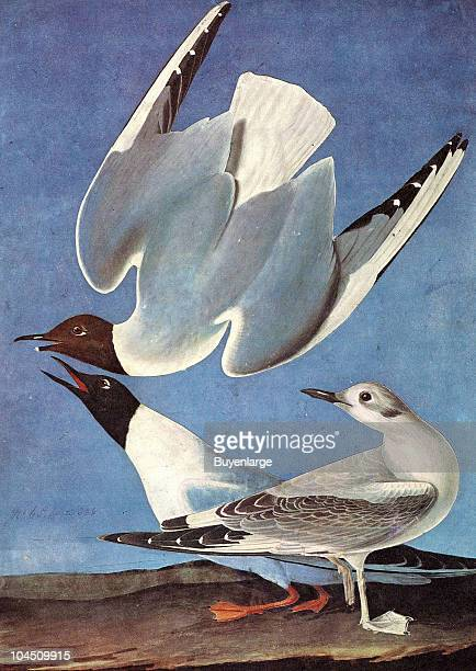 Illustration of three Bonaparte's Gulls 19th century The image was originally painted by the illustrator John James Audubon and first published in...