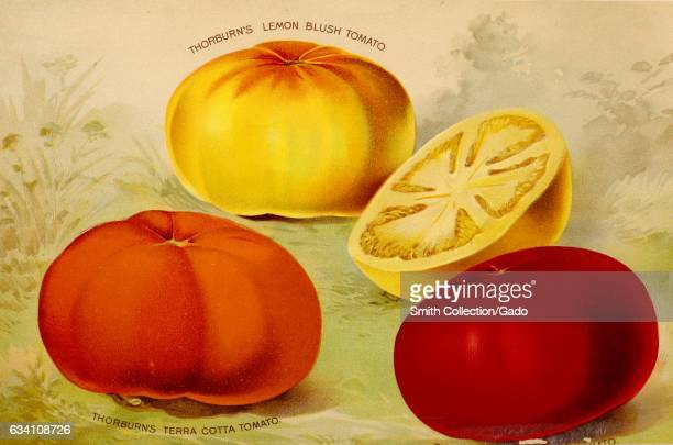 Illustration of three varieties of tomato including the terra cotta and lemon blush from JM Thorburn and Company's annual descriptive catalogue of...