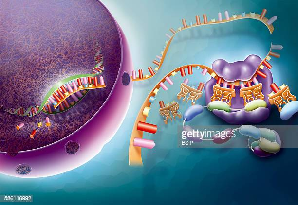 Illustration of transcription and translation After the transcription of DNA into a messenger ARN in the nucleus the mARN is transported to the...