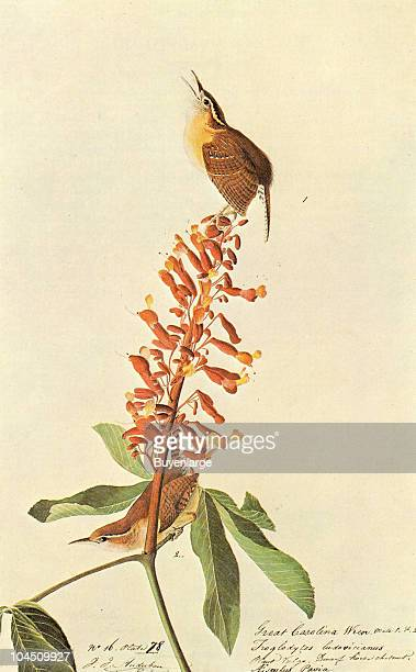 Illustration of two Great Carolina Wrens perched upon a flower 19th century The image was originally painted by the illustrator John James Audubon...