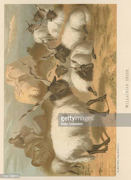Illustration of Wallachian sheep in the 19th century