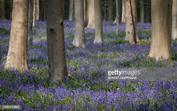 Illustration picture shows the Hallerbos in Halle, renowned for its bluebells, Monday 19 April 2021. BELGA PHOTO BENOIT DOPPAGNE