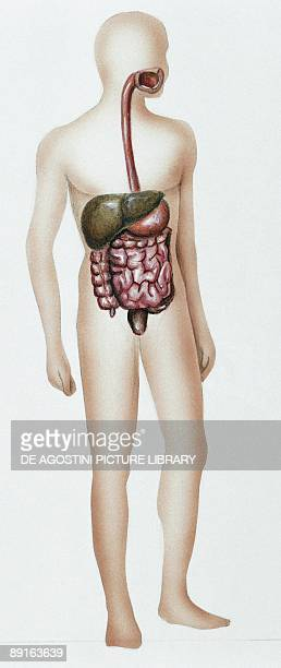 Illustration showing human digestive system