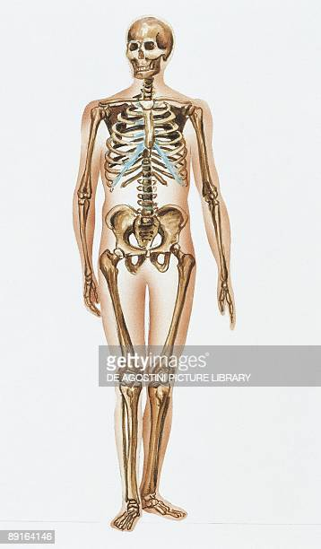 Human skeletal system stock photos and pictures getty images illustration showing human motor system ccuart Choice Image