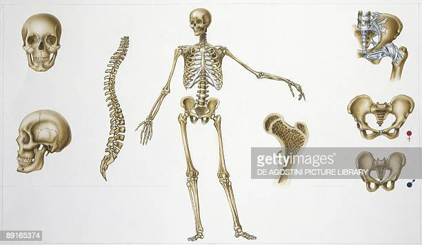 Human skeletal system stock photos and pictures getty images illustration showing human skeletal system ccuart Choice Image