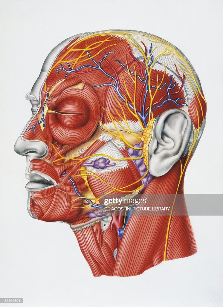 Diagram Of Human Head Muscles And Nerves Diy Enthusiasts Wiring