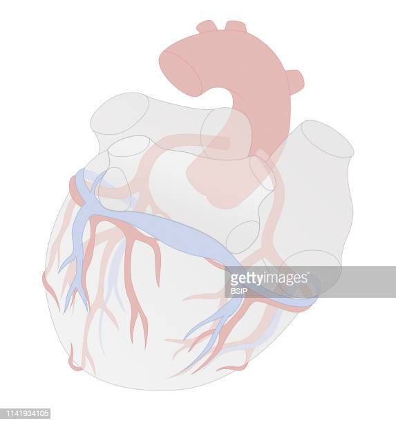 Illustration showing the coronary sinus which produces the great cardiac vein the small cardiac vein and the left posterior interventricular artery...