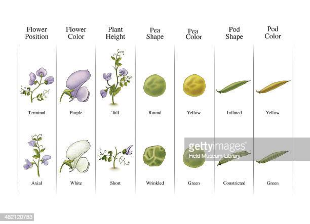 Illustration showing the seven pairs of contrasting traits botanist Gregor Mendel chose to observe in his experiments smooth vs wrinkled peas yellow...