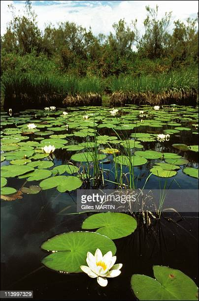 Illustration Waterlilies In France In 1997