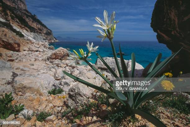 Illyrian Sea Lily surroundings of Cala Goloritze National Park of the Bay of Orosei and Gennargentu Ogliastra Sardinia Italy