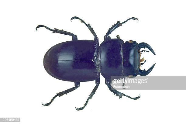 image dictionary, nature, animal claw, beetle, cut out - beetles with pincers stock pictures, royalty-free photos & images