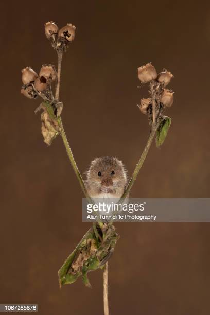 image of a harvest mouse with autumn colours - harvest mouse stock pictures, royalty-free photos & images