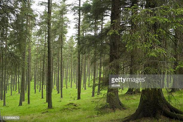 image of a pine forest with growing green grass - larch tree stock pictures, royalty-free photos & images