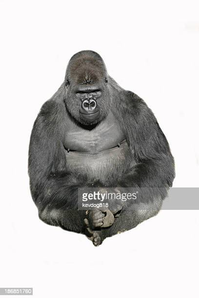 image of a sitting gorilla against a white background - gorilla stock pictures, royalty-free photos & images