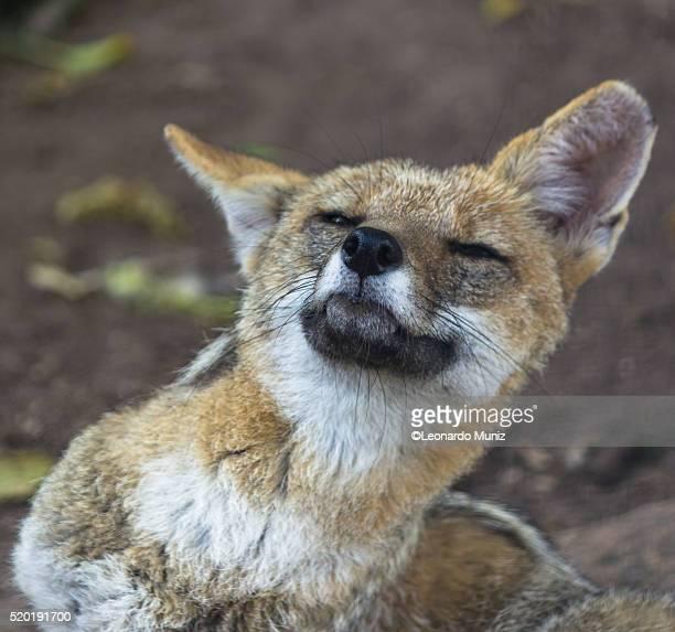 image of a skunk sudamerica. - zone d'exclusion aérienne photos et images de collection