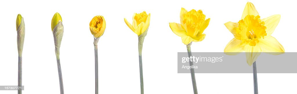 Image of a yellow flower blooming over time : Stock Photo