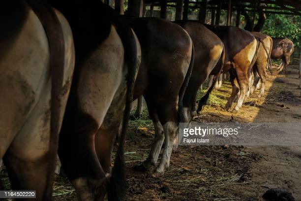 image of bottom of cows looks so funny - hairy bum stock pictures, royalty-free photos & images