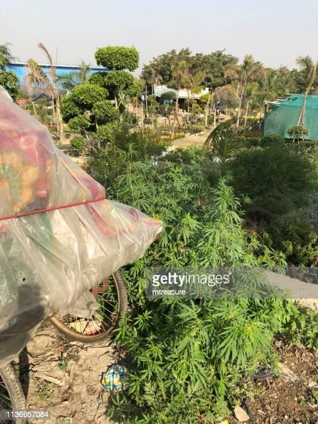 インドの野生の大麻植物のイメージ、で成長のマリファナの薬、デリーのガーデンセンター、雑草として成長する野生のインド麻の植物 - カンナビスサティバ ストックフォトと画像