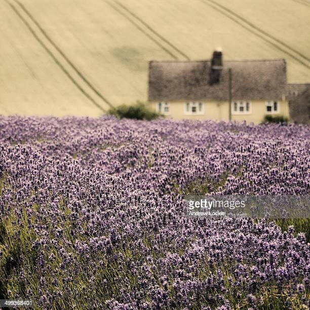Image of lavender fields in the Cotswolds, taken near the village of Snowshill, on the North Cotswold escarpment. England, UK