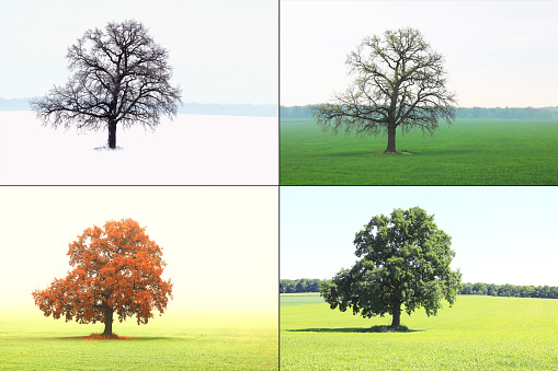 image of lonely tree in winter without leaves on snow, in spring without leaves on grass, in summer on grass with green foliage and autumn with red-yellow leaves as symbol of four seasons 1185674570