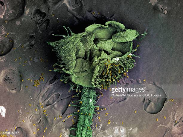 sem image of rose stamens - scanning electron microscope stock pictures, royalty-free photos & images