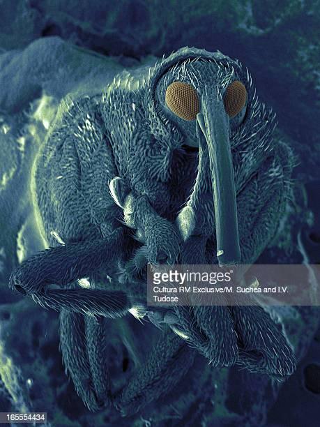 SEM image of snout beetle