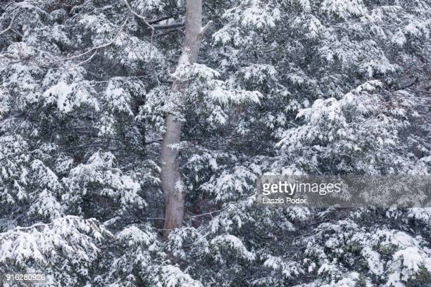 image of snow covered trees near halifax, nova scotia, canada. - hemlock tree stock pictures, royalty-free photos & images