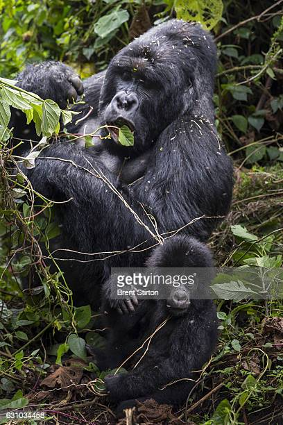 Image of the plant life in the gorilla sector of Virunga National Park DRC 6 August 2013