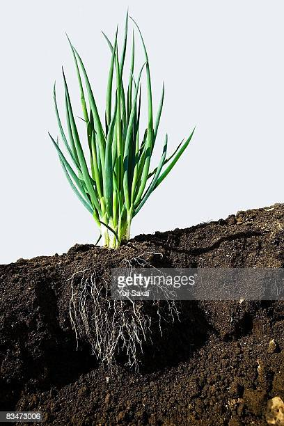 image of welsh onion