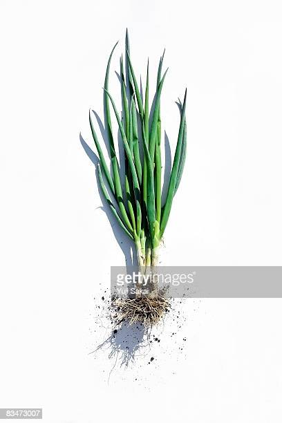 image of welsh onion - cipollina foto e immagini stock