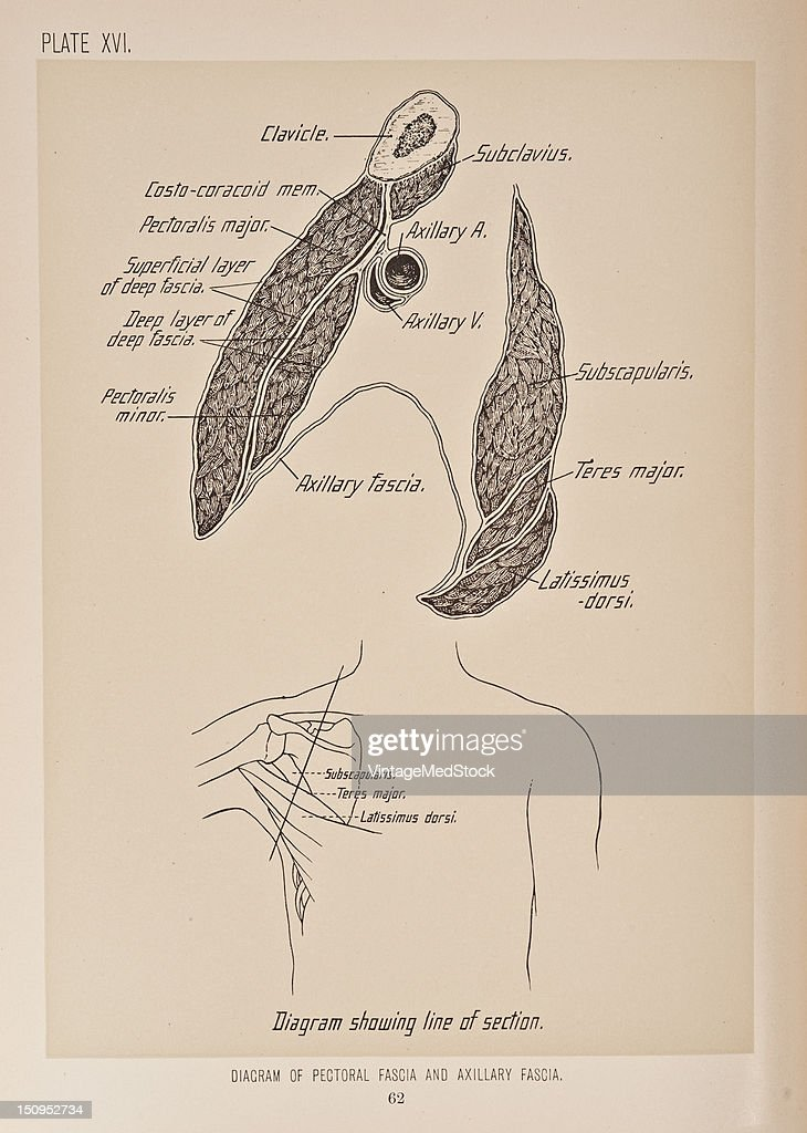 Diagram Of Pectoral Fascia & Axillary Fascia Pictures | Getty Images