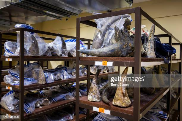 Images from inside the illegal Rhino Horn storage locker inside Namibia's Ministry of the Environment and Tourism These horns have been collected...