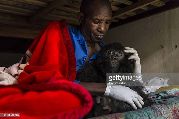 Images from the Senkekwe Orphan Gorilla project as caretaker Baboo prepares to go to sleep with a new orphan mountain gorilla Ihirwe at ICCN...