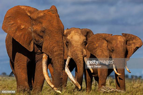 Images of some of the last of the great Elephant tuskers in Africa taken in Tsavo East May 18 2011 Massive elephant poaching in recent years has seen...