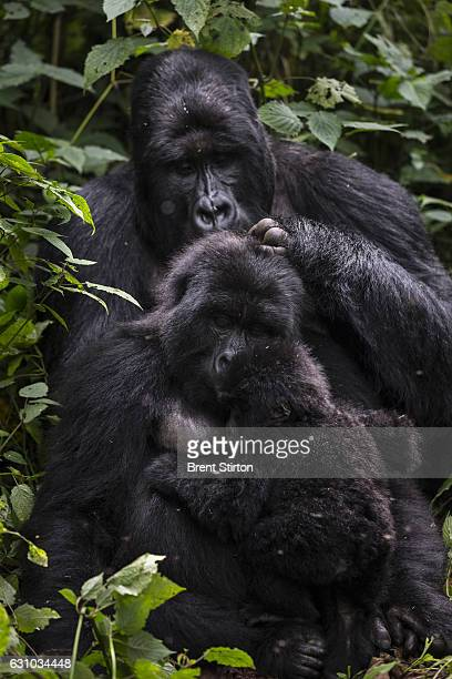 Images of the Bageni family in the gorilla sector of Virunga National Park DRC 6 August 2013 The gorillas sector is currently occupied by the M23...
