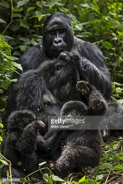 Images of the Bageni family in the gorilla sector of Virunga National Park, DRC, 6 August 2013. The gorillas sector is currently occupied by the M23...