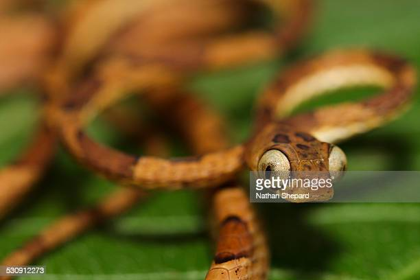 Imantodes lentiferus