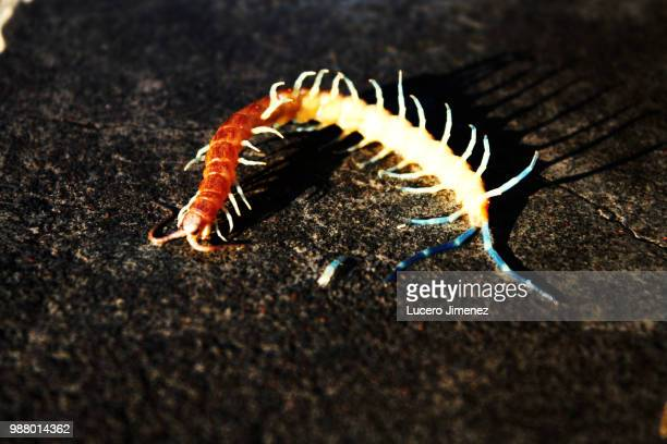 img_0384.jpg - centipede stock pictures, royalty-free photos & images