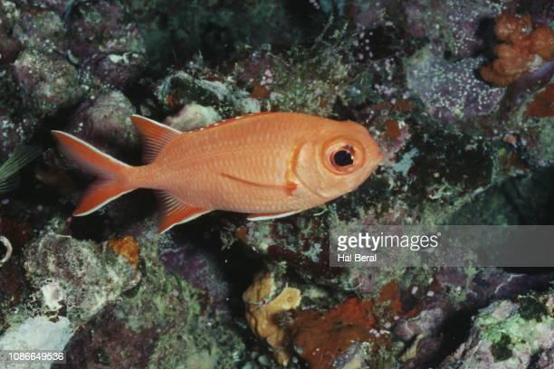 immaculate squirrelfish - squirrel fish stockfoto's en -beelden
